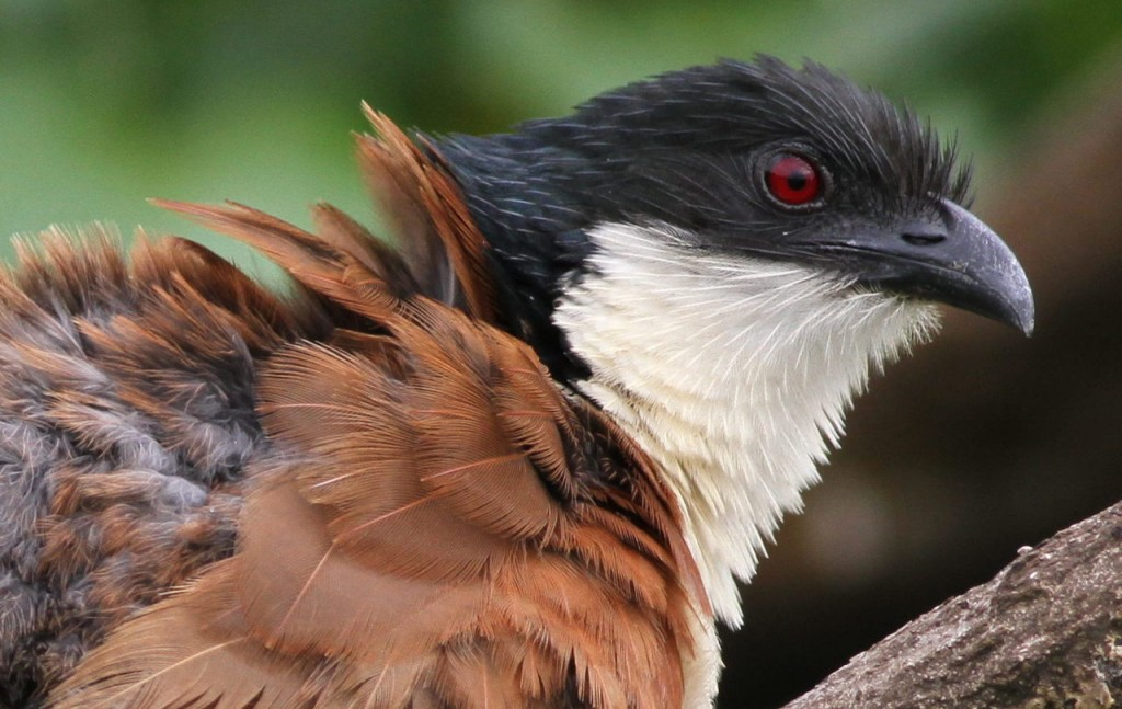 Burchell's Coucal, Centropus burchelli: a study at Kruger Nation
